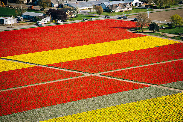 Aerial view of rows of yellow and red tulip fields