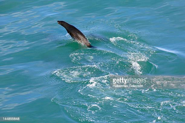 Aerial View of Seal swimming off False Bay Cape Town South Africa
