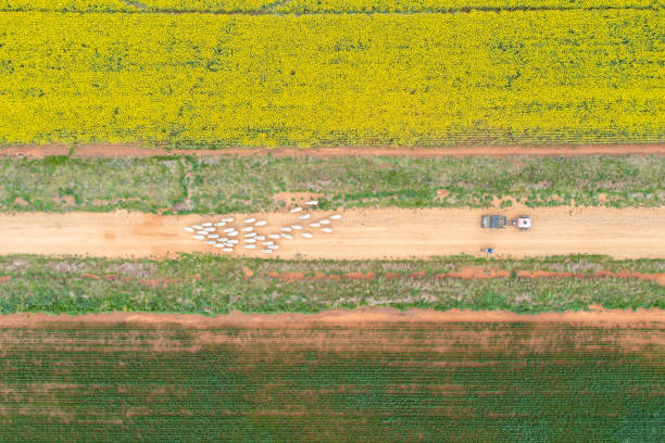Aerial view of sheep being moved on farm
