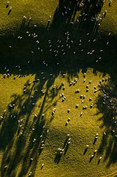 Aerial View Of Sheep Grazing Wall Art