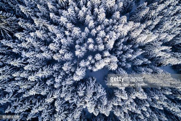 Aerial View Of Snow Covered Pine Trees In Forest During Winter