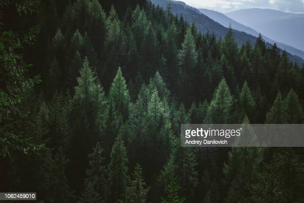 aerial view of summer green trees in forest in mountains - pinaceae stock pictures, royalty-free photos & images