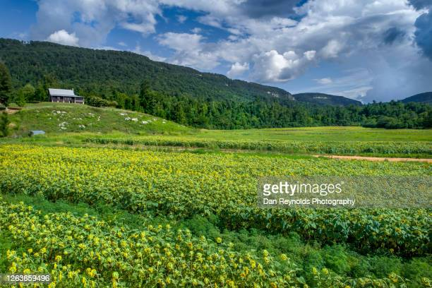 aerial view of sun flowers valley and mountain range - georgia country stock pictures, royalty-free photos & images