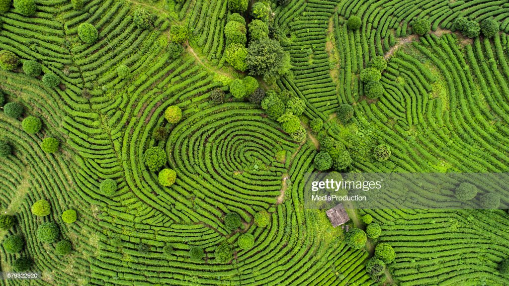 Aerial view of Tea fields : Stock Photo