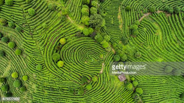 aerial view of tea fields - east asia stock pictures, royalty-free photos & images