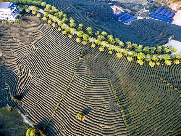 Aerial view of tea plantation in china, Asia