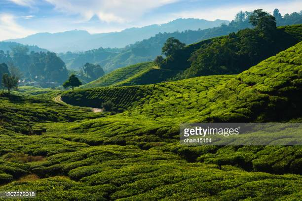 aerial view of tea plantation in the morning sunlight. - sikkim stock pictures, royalty-free photos & images