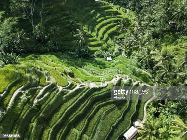 aerial view of tegallalang rice terraces, bali, indonesia - reisterrasse stock-fotos und bilder