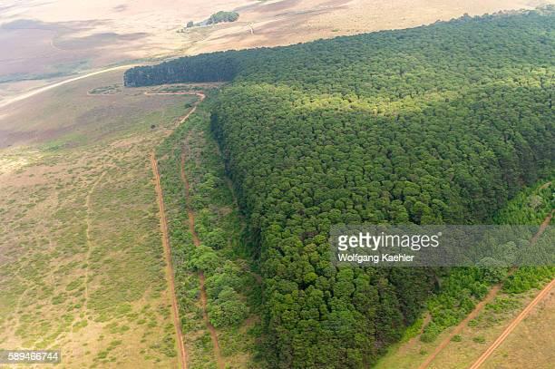 Aerial view of the pine tree plantation near Chelinda on the Nyika Plateau, Nyika National Park in Malawi.