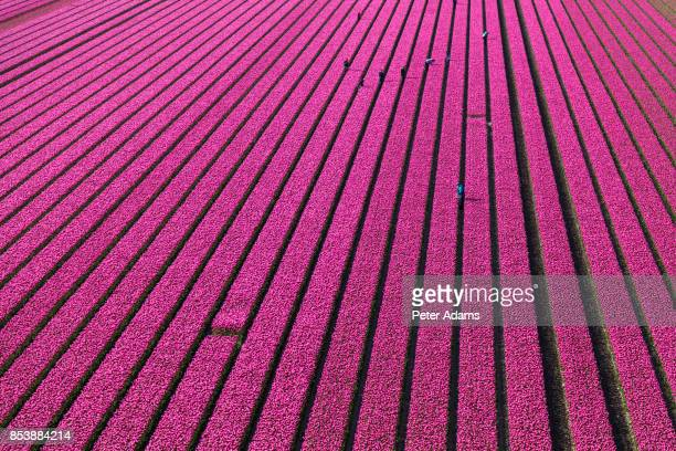 Aerial view of the tulip fields in North Holland