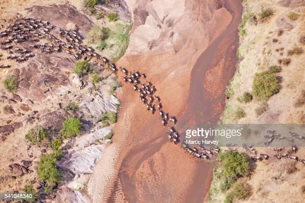 aerial view of the wildebeest migration - 動物の一団 ストックフォトと画像