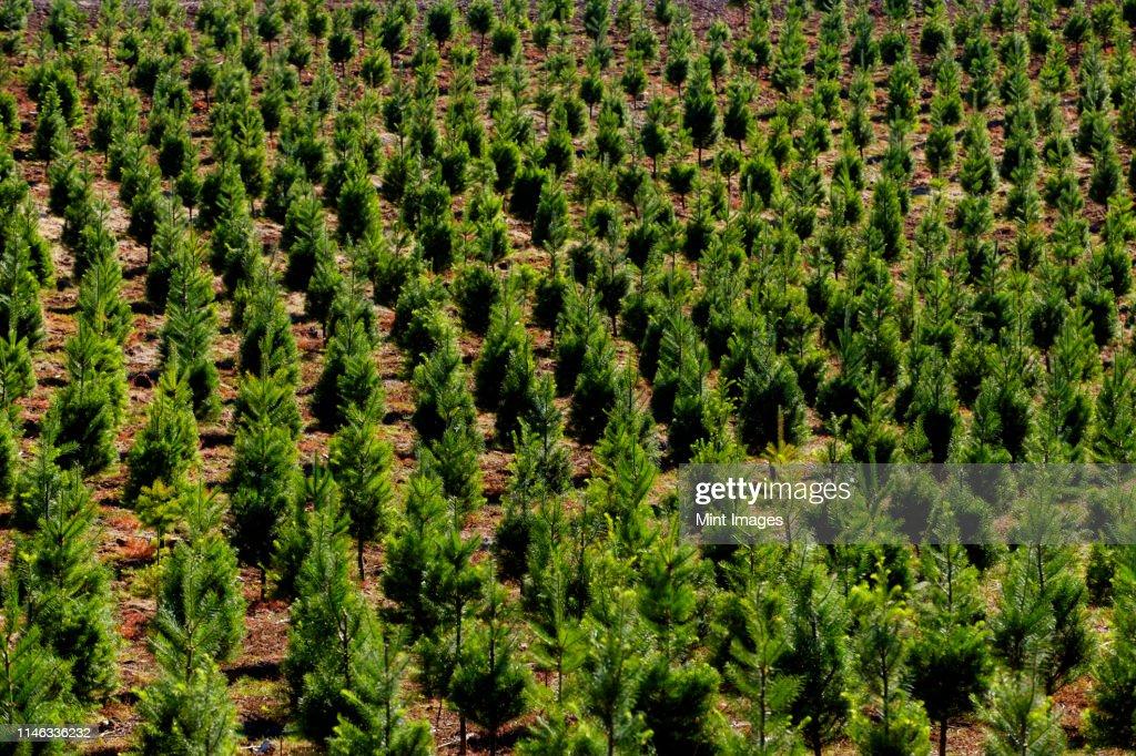 Aerial view of tree farm : Stock Photo