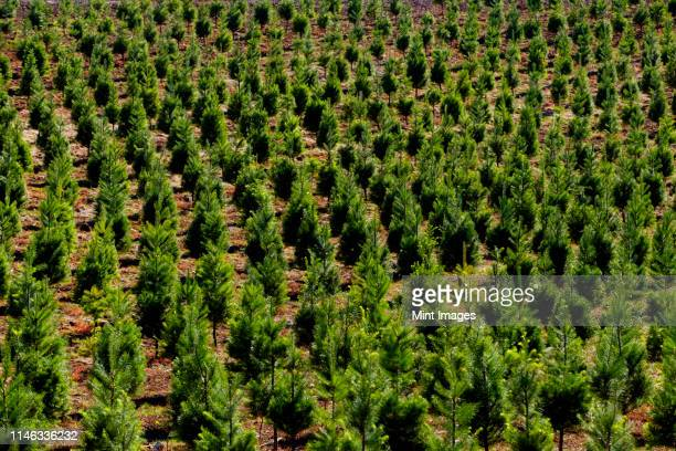 aerial view of tree farm - christmas tree farm stock pictures, royalty-free photos & images
