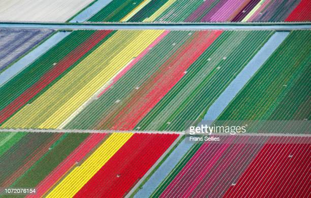 aerial view of tulip fields in the netherlands - mixed farming stock pictures, royalty-free photos & images