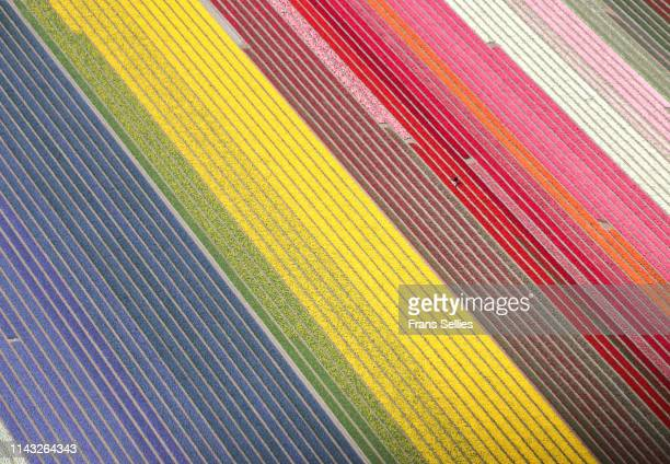 aerial view of tulip fields in the netherlands - keukenhof gardens stock pictures, royalty-free photos & images