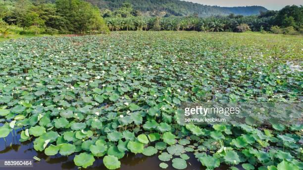 Aerial view of white lotus pond