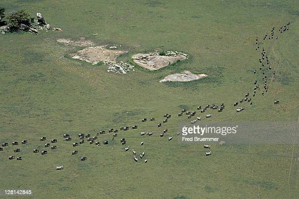 Aerial view of Wildebeest migration, Serengeti National Park, Tanzania