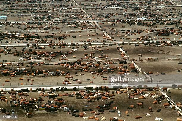 aerial view of world?s largest cattle feedlot (120,000 head). monfort beef, co - livestock stock pictures, royalty-free photos & images