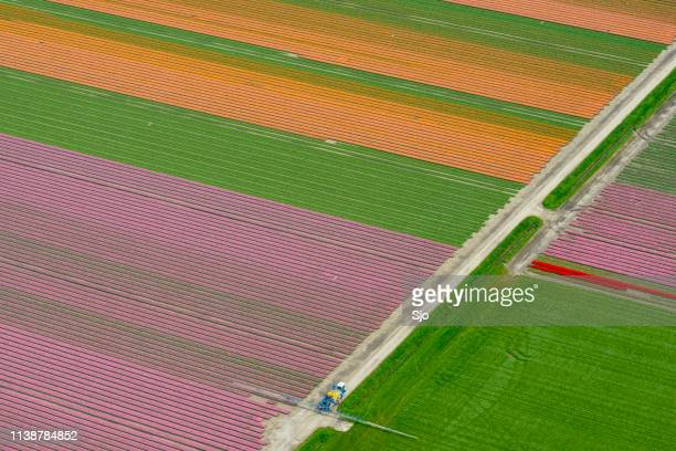 Aerial view on fields of tulip flowers growing in spring in Holland