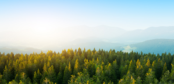 Aerial View On Spacious Pine Forest At Sunrise 495508534