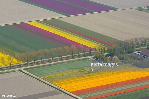 Aerial view on tulip flowers fields growing in spring