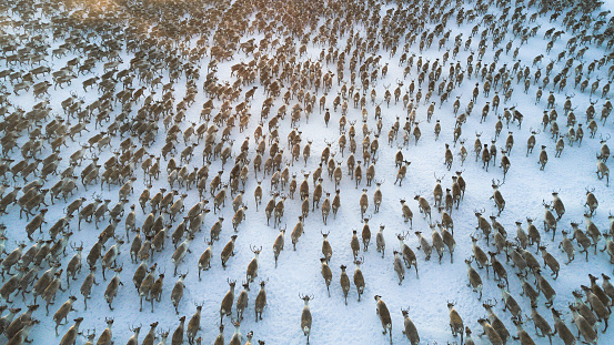 aerial view or over 3000 reindeer running in a tundra 1097704232