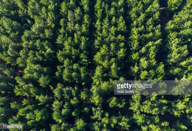 aerial view over a pine plantation - tree farm stock pictures, royalty-free photos & images