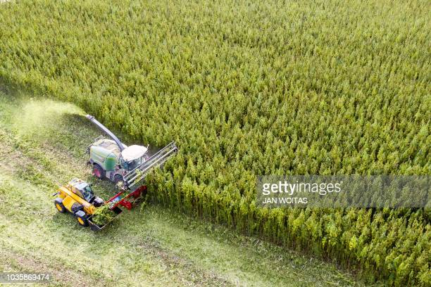 Aerial view taken on September 19 2018 shows farmers with their specially developed harvesting machines cropping a cannabis field in Naundorf eastern...