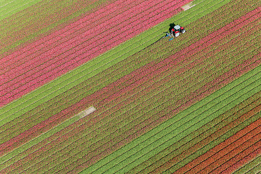 Aerial view tractor driving across red, green and pink fields of tulips. - gettyimageskorea