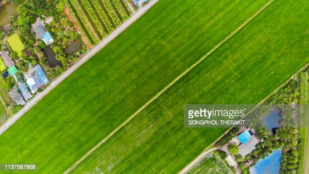 aerial view/a large lush rice field that is an agricultural community - top fotografías e imágenes de stock
