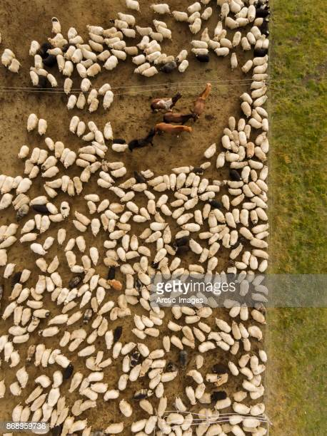 Aerial view-Sheep Roundup, Iceland