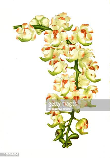 Aerides lawrenceae orchid Orchidee digital improved reproduction from a print of the 19th century