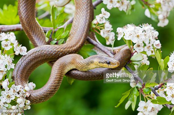 aesculapian snake, zamenis longissimus - rat snake stock photos and pictures