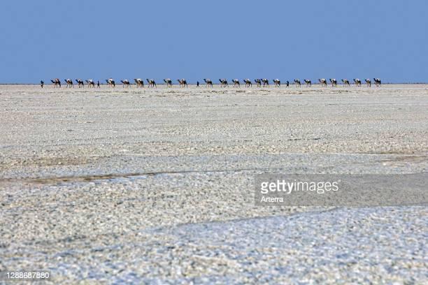 Afar cameleers / camel drivers leading camel caravan transporting blocks / tiles of salt / ganfurs over salt flat, Danakil depression, Ethiopia.