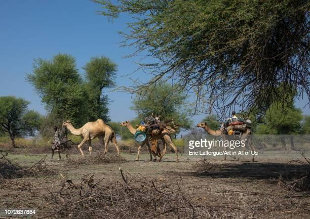 Afar people leading a camel caravan Afar region Semera Ethiopia on November 1 2018 in Semera Ethiopia