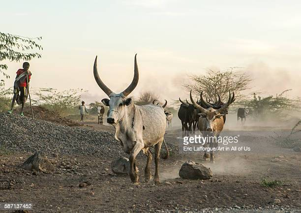 Afar tribe herder with his cows on a dusty track afar region afambo Ethiopia on March 1 2016 in Afambo Ethiopia