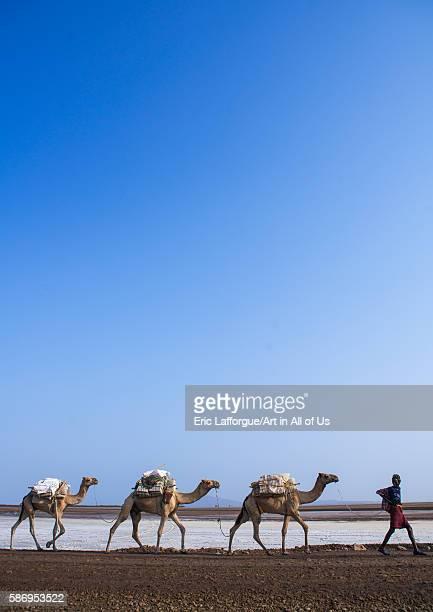 Afar tribe man camel caravans carrying salt blocks in the danakil depression afar region dallol Ethiopia on February 25 2016 in Dallol Ethiopia
