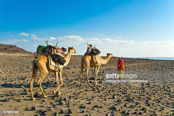 afar tribeswoman with camels on her way home, near lac abbe, republic of djibouti, africa - djibouti stock pictures, royalty-free photos & images