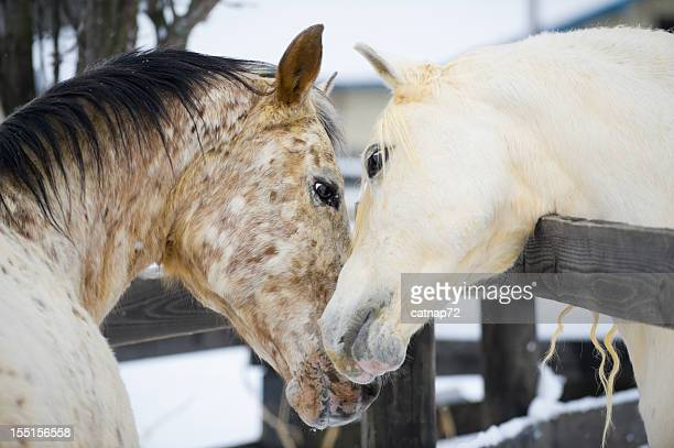 affectueux chevaux touchant au comportement courtship, se frottant le cou - equestrian animal photos et images de collection