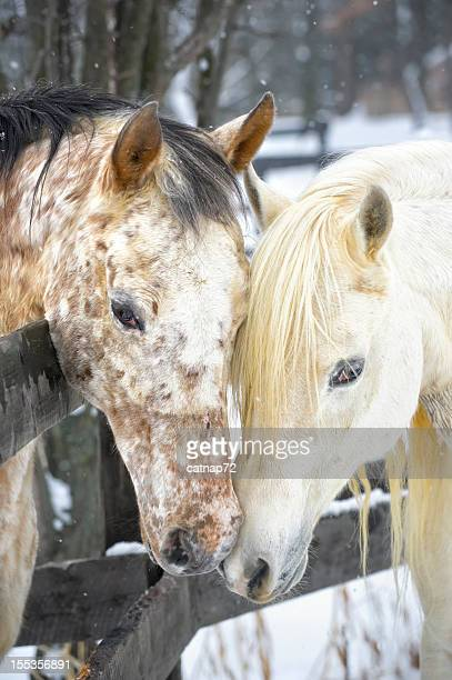 affectueux chevaux touchant au comportement courtship - accouplement cheval photos et images de collection