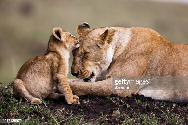 affectionate lion cub with lioness. - female animal stock pictures, royalty-free photos & images