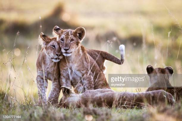affectionate lion cubs in nature. - vertebrate stock pictures, royalty-free photos & images