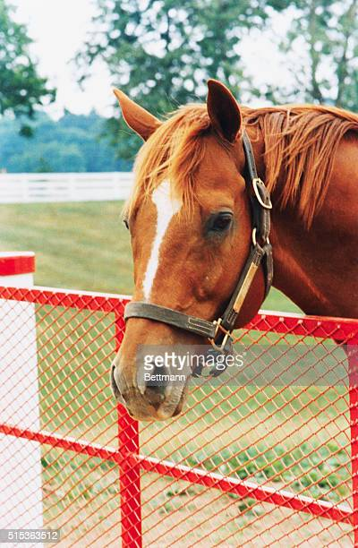 Affirmed is currently a resident at Calumet Farm and is seen here June 2 In 1978 Affirmed won racing's Triple Crown by nipping Alydar in all three...