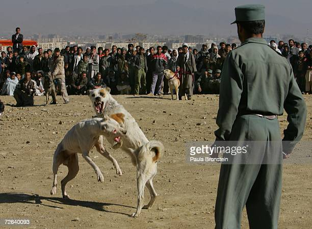 Afghan dogs fight as authorities try and monitor the sporting event November 24 2006 in Kabul Afghanistan While the Afghan government is trying to...