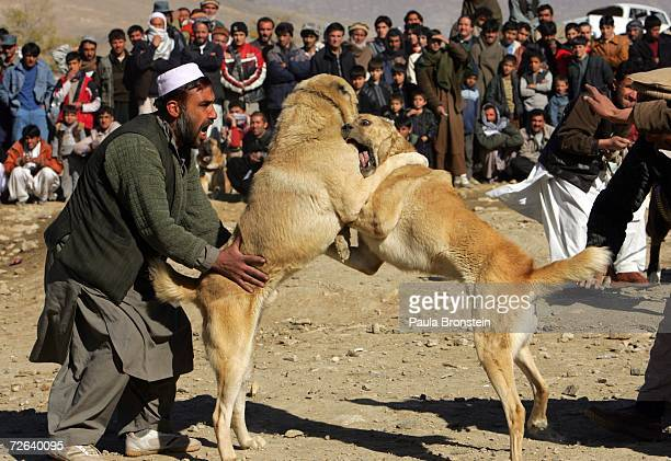 Afghan dogs fight as their owners try and monitor the sporting event November 24 2006 in Kabul Afghanistan While the Afghan government is trying to...
