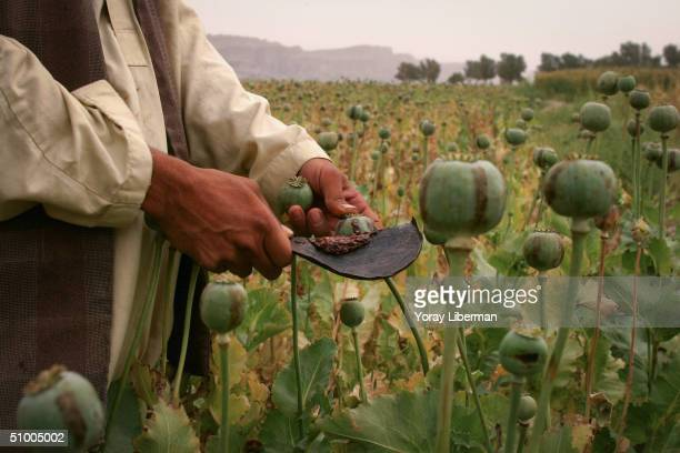 Afghan farmers collect opium from poppies using a metal spoon April 20 2004 in Jalalabad Afghanistan Near the Pakistani border poppy cultivation is...