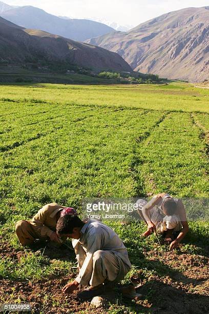 FAYZABAD BADAKHSHAN AFGHANISTAN APRIL 12 Afghan farmers cultivate poppy fields in the northern region knowing the Afghan government will start a...