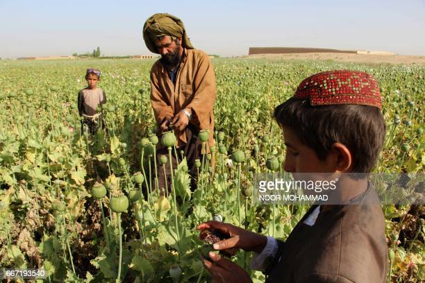 Afghan farmers harvest opium sap from a poppy field in the Gereshk district of Helmand on April 11, 2017. The US government has spent billions of...