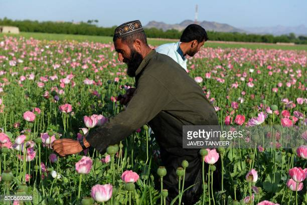 TOPSHOT Afghan farmers harvest opium sap from a poppy field in Zari District of Kandahar province on April 12 2016 Opium poppy cultivation in...