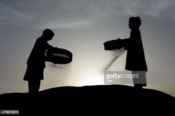 Afghan farmers separate loose husk from their basil harvest on the outskirts of Jalalabad Nangarhar province on March 19 2014 Only about 15 percent...